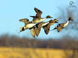 DU_Pintails flying Web